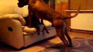 Dogue De Bordeaux Attack !! The Mighty Zeus And Sasha The Puppy!!
