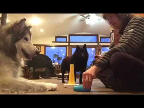 Do as I do training - smart schipperke  and Malamute
