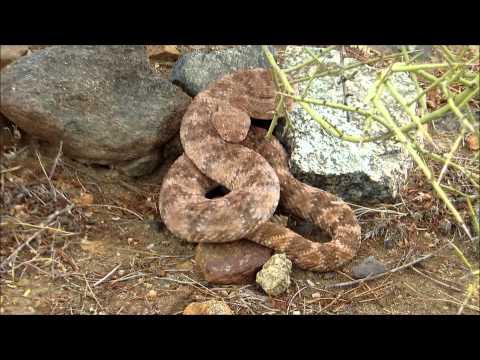 Arizona Diamondback Rattlesnake - Summer Monsoons