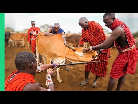 RARE Cow Bleeding ritual in Kenya! (Already Demonetized / Su