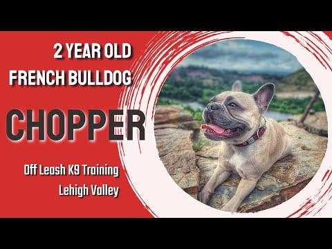 saucon-valley-dog-trainers-|||-olk9-lehigh-valley-|||-chopper,-2-year-old-french-bulldog