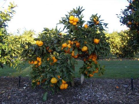How to plant a Dwarf Mandarin tree?