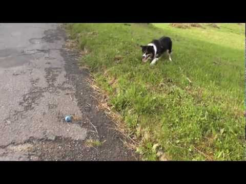 Damon the Border Collie  Invisible barrier (extreme dog training)