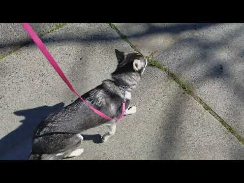 Slow and Fast Heel Command Alaskan Klee Kai - Kotah