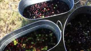 Part II How to Naturally Cure Olives Using Water