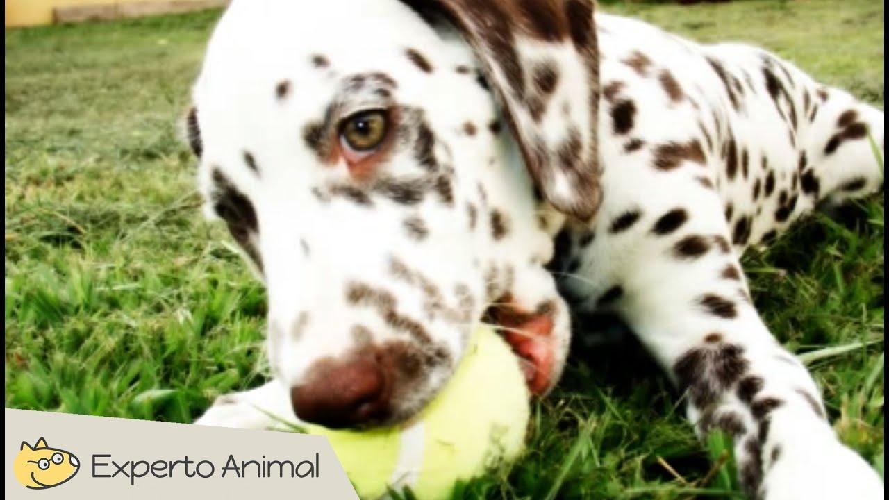 imagenes de un perro dalmata   Imagenesparacolorear.website