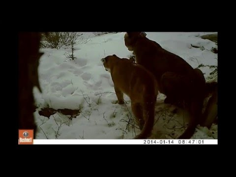 Panthera Puma Project: Wyoming Female Mountain Lion In Heat With Male