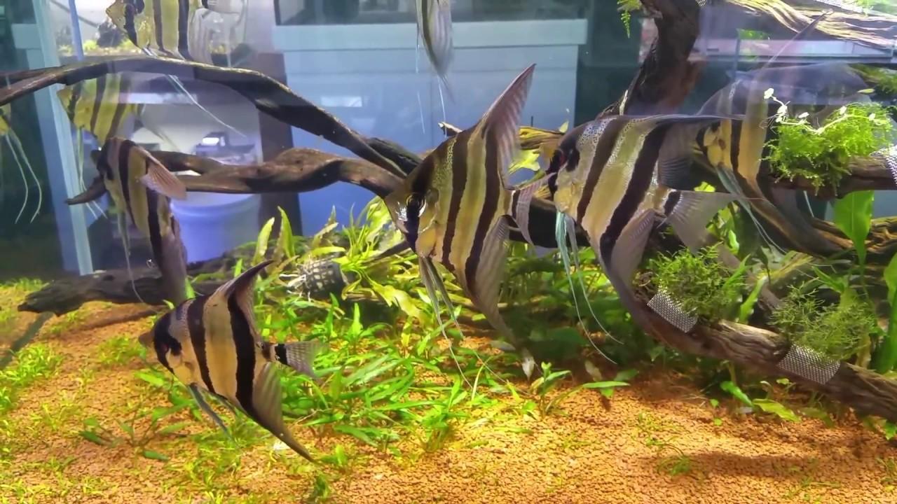 spectacular altum angel display aquarium at nature aquariums