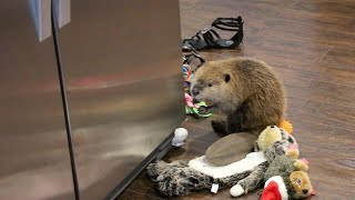 Beaver Builds Dam Out Of Household Items