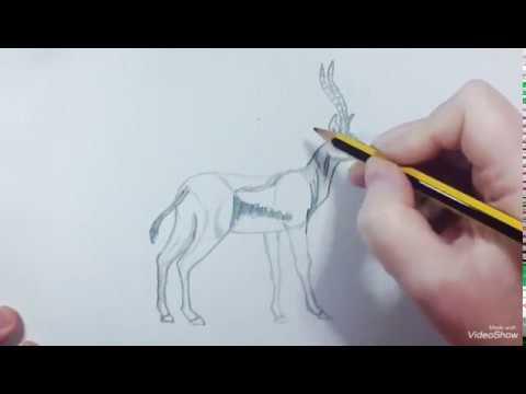 How to draw a Thomson´s Gazelle - Como dibujar una Gacela Thomson