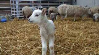 Another little lamb wants to be a movie star
