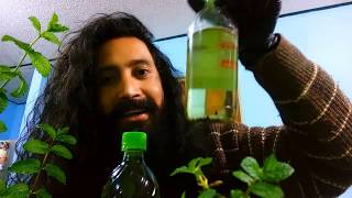 The most powerful plant in the world to rehabilitate hair - make mint oil for hair