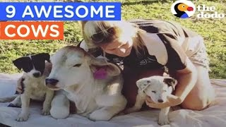Cows Acting Like Dogs & More | Cows Are Awesome Compilation | The Dodo Daily