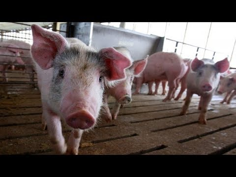 Pig to human organ transplants may be possible