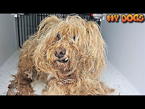 Rescue a Poor Dog Can't Be Move by Her Fur -Then Rescuers Changed Her Life!