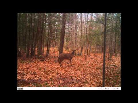 McKean County, Pa. Deer