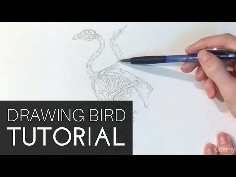 Drawing Birds: The Essential Guide : General Bird Anatomy