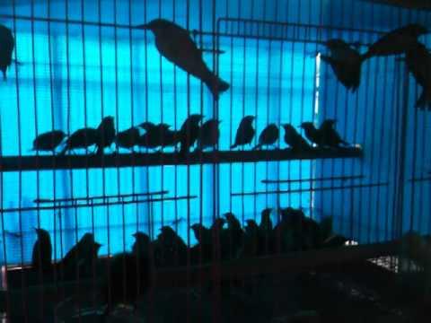 Nhật ký bẫy khuyên tây hồ 2 (diễn đàn chim cảnh www.ketnoidamme.net)