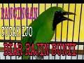 Masteran Cucak Ijo Biar Rajin Bunyi  Mp3 - Mp4 Download