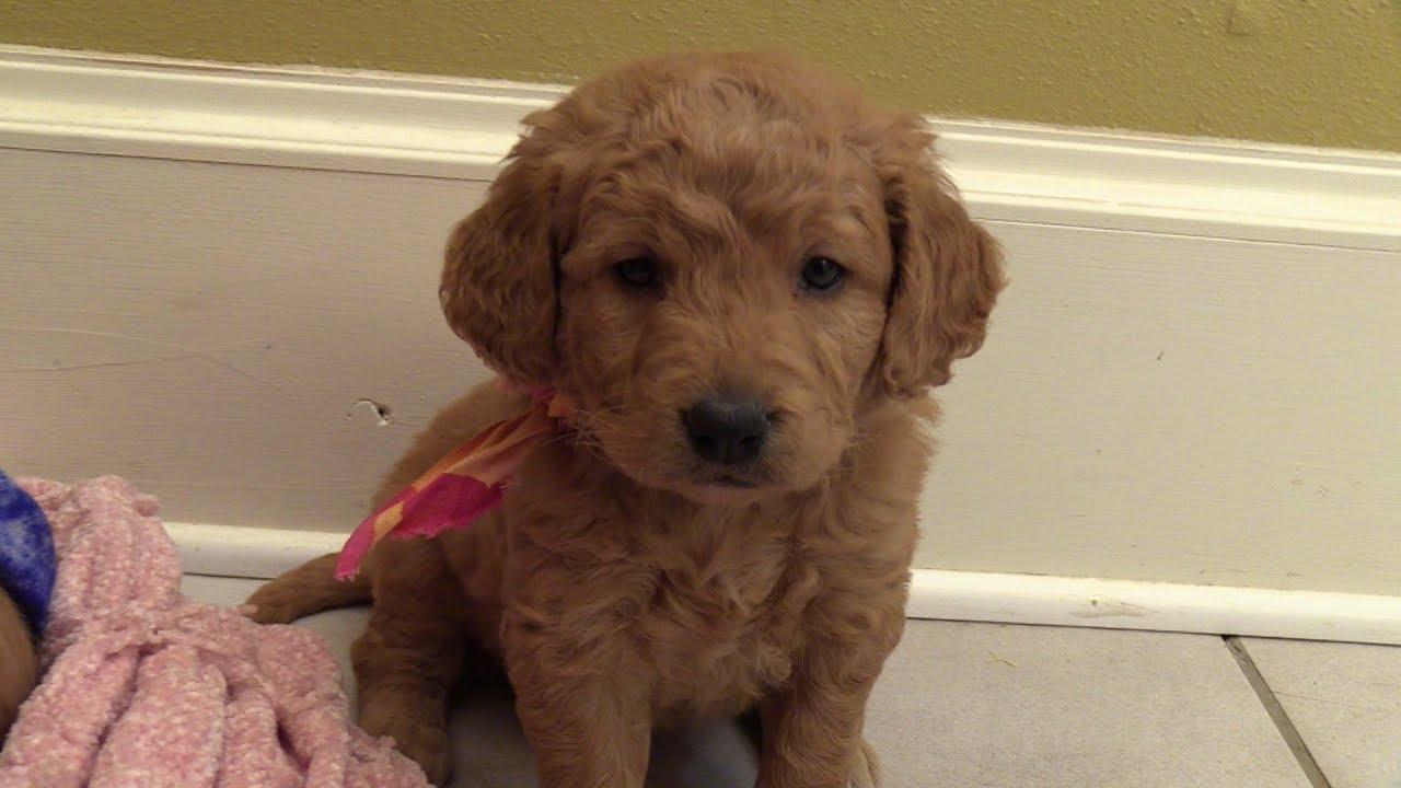 Jodis F1 Mini Goldendoodle Puppies On 10162018