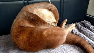 As a result of the checkup, Aty's health is... [Otter life Day 286]【カワウソアティとにゃん先輩】