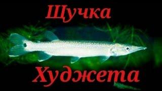 Аквариумные рыбки.Щучка Худжета. Мечерот(, 2016-09-02T20:34:15.000Z)