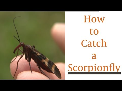How To Catch A Scorpionfly