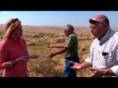 Walla Walla wheat farmers go organic