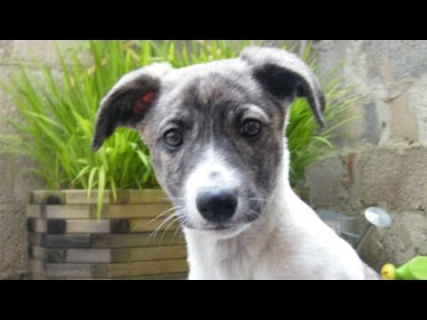 60 Seconds Of Cute Whippet Puppies!