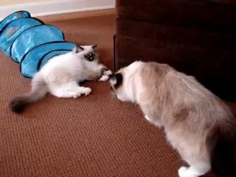 Ragdoll Cat Meets Ragdoll Kitten - ねこ - ラグドール - Floppycats