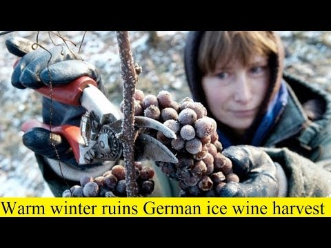 wine article Warm winter ruins German ice wine harvest