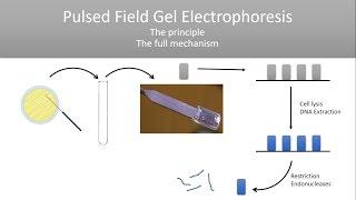 The Principle of Pulsed Field Gel Electrophoresis (PFGE)