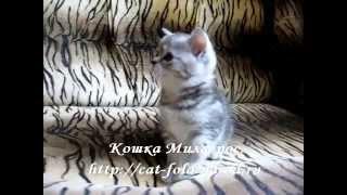 Милагрос, кошка, скоттиш-страйт, окрас черепаховый чёрный серебристый мраморный.