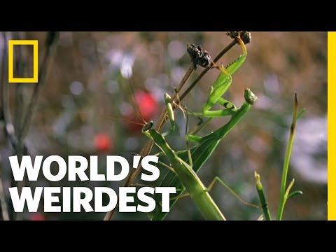 Deadly Praying Mantis Love | World's Weirdest