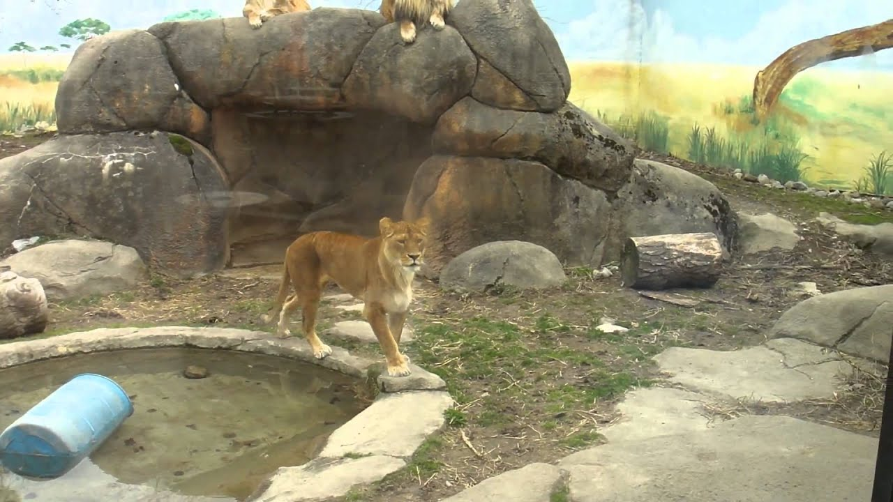 lions at the rosamond gifford zoo youtube