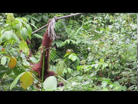 Orangutan at Sepilok Rehabilitation Centre in Borneo