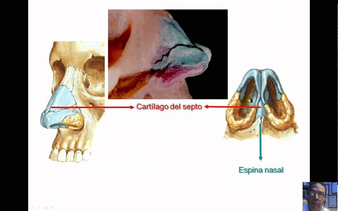 ANATOMIA CAVIDAD NASAL Y SENOS PARANASALES 2011.wmv - YouTube
