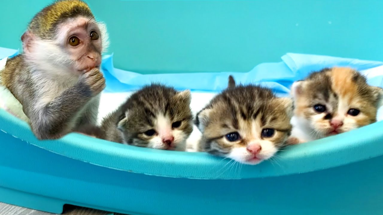 Baby monkey Susie takes care of foster kittens without a mom cat