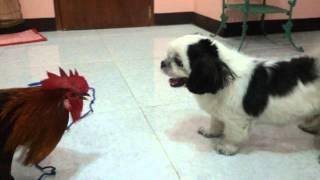 Hatchi Vs NokNok (Labanan ng Aso at Mano...