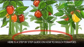 Step by Step Guide On How to Mulch Tomatoes