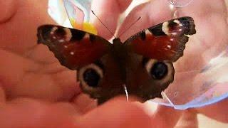СЮРПРИЗЫ: живая БОЖЬЯ КОРОВКА и живая БАБОЧКА, гусеница. Видео для детей(Открываем СЮРПРИЗЫ: живая БОЖЬЯ КОРОВКА и живая БАБОЧКА, гусеница игрушка. Видео для детей Open surprise: a living..., 2015-11-16T07:56:04.000Z)