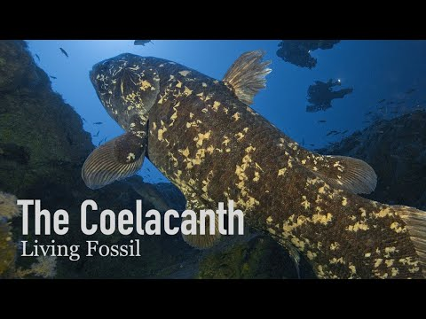 Coelacanths, Living Fossils Of The Sea