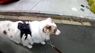 犬のしつけ方教室アウラの動画サイトです 主催者の西田オサアキとビンゴ...