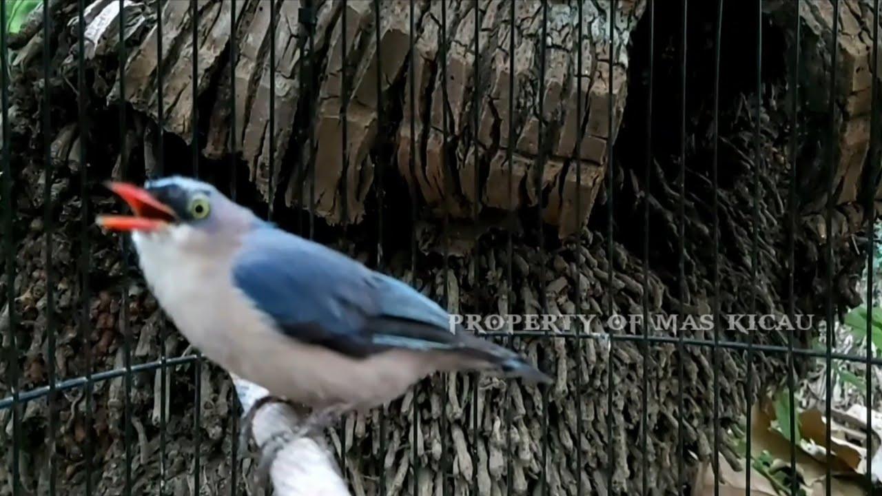 Tembakan Khas Burung Rambatan Paruh Merah Burung Masteran Youtube