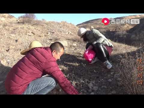 陕北刘四:农村夫妻去山上捡地软,野生地软捡的停不下,刘四为啥催着要回家
