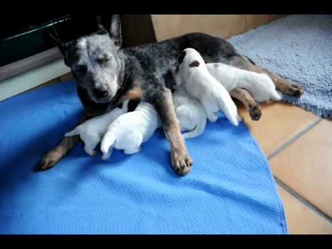 Australian Cattle Dog Puppies 2 Week