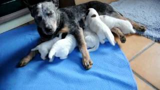 Australian Cattle Dog - RESCUED MY DOG - MEET MY NEW PUPPY