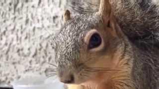 Funny Squirrel Compilation. Прикольные белки. Лучшая нарезка)