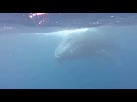 Humpback Whale FaFa Island Tonga Buckelwal 2016