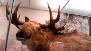Видео. Парнокопытные животные. Краеведческий музей. Новосибирск.